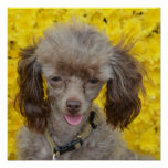 Tiny Poodle with Yellow Flowers Poster