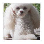 Toy Poodle Tile