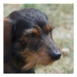Wire Haired Daschund Dog Poster