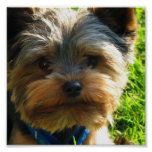 Yorkshire Terrier Poster Print