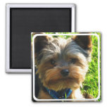 Yorkshire Terrier Square Magnet